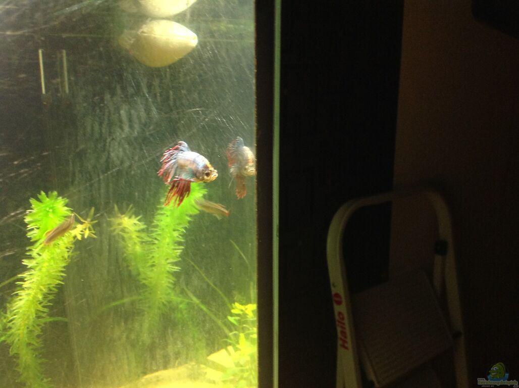 Aquarium von sebastian hodel asien for Kampffisch futter