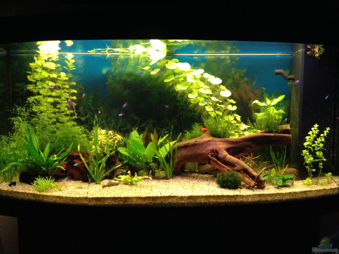 Example no 29417 from the category community tanks for Aquarium 60l