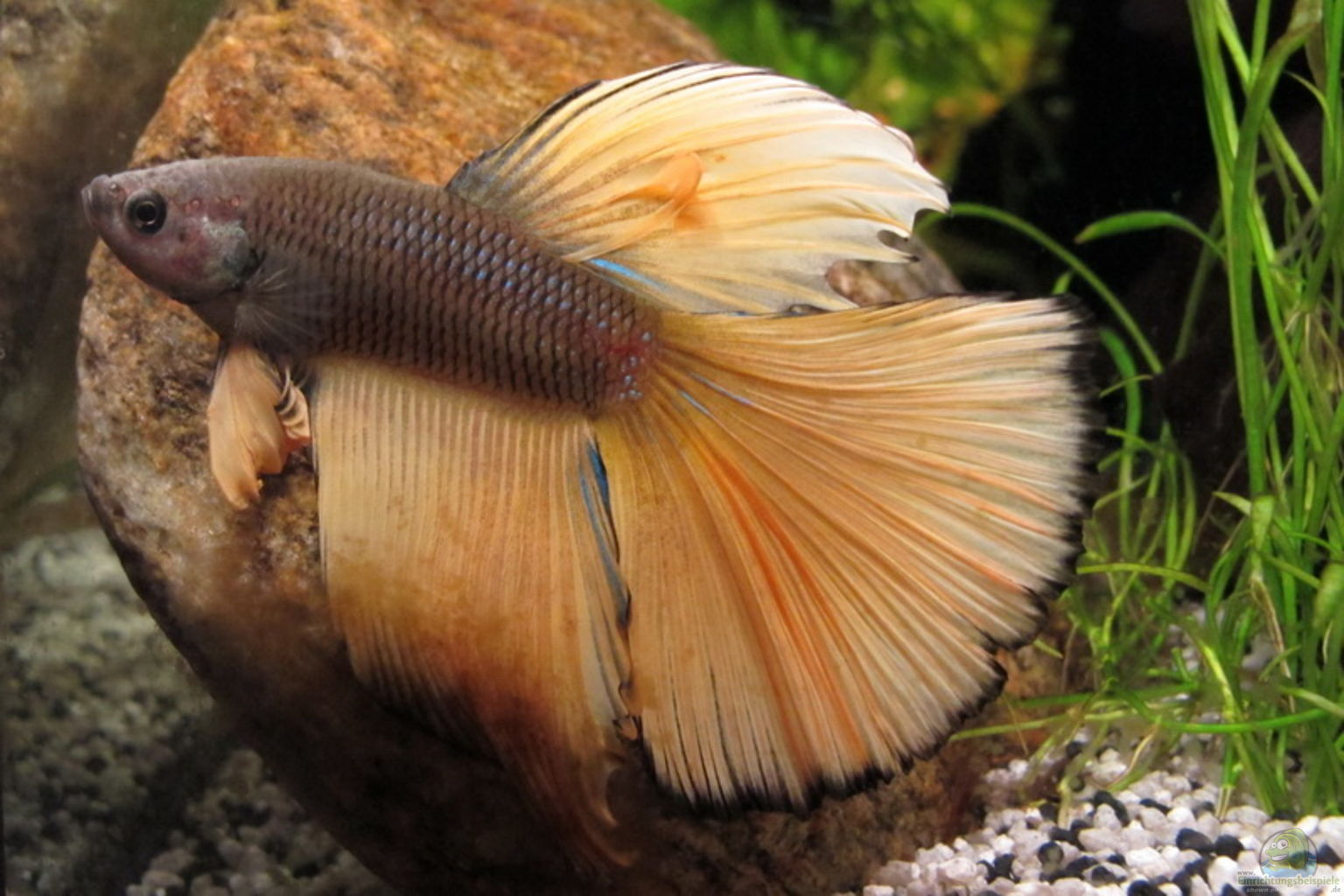 Aquarium von sarah quellen batmund aufgel st for Siamesischer kampffisch