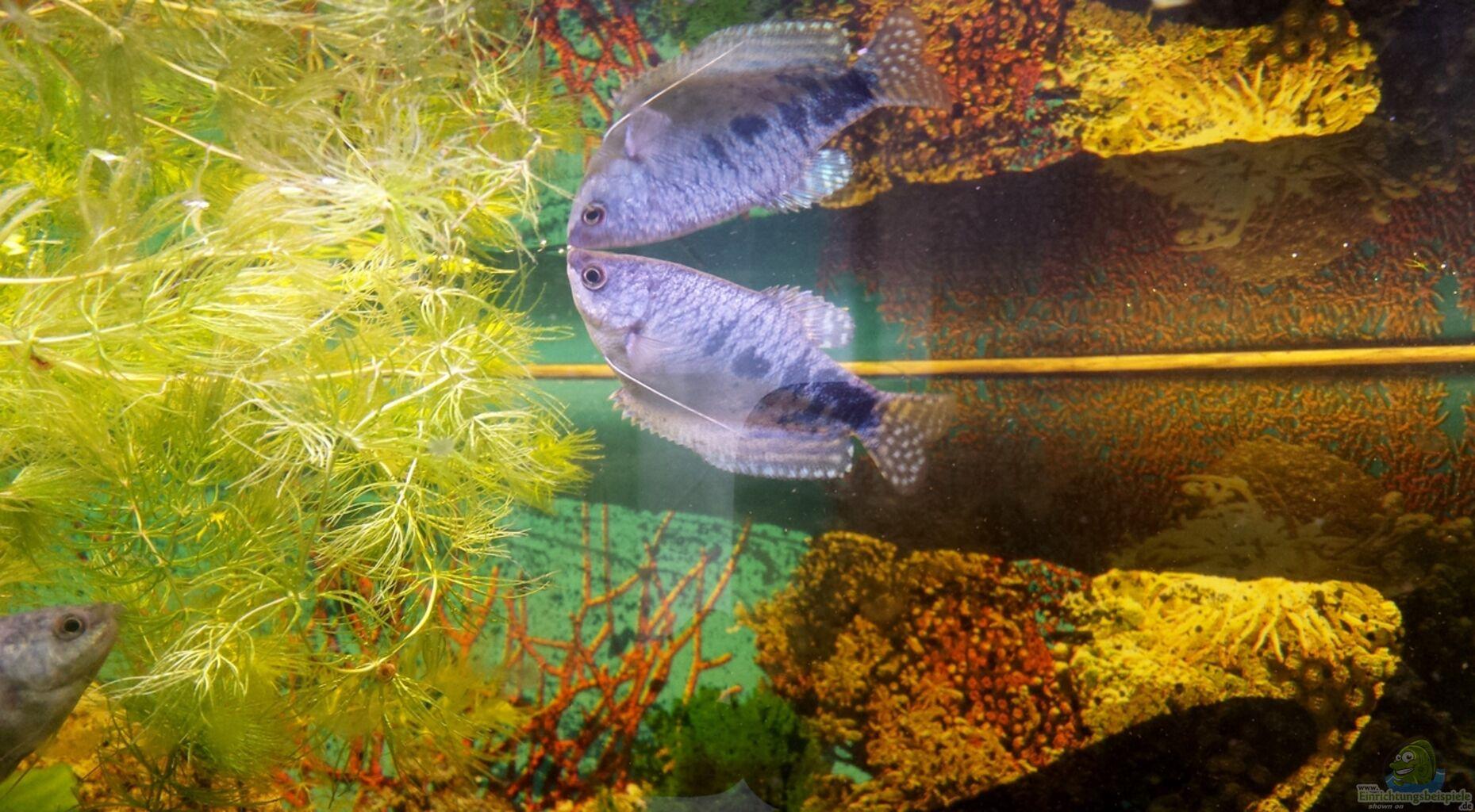 Marmor fadenfisch mann aus barsch fadenfisch von mamo2000 for Zierfische barsch