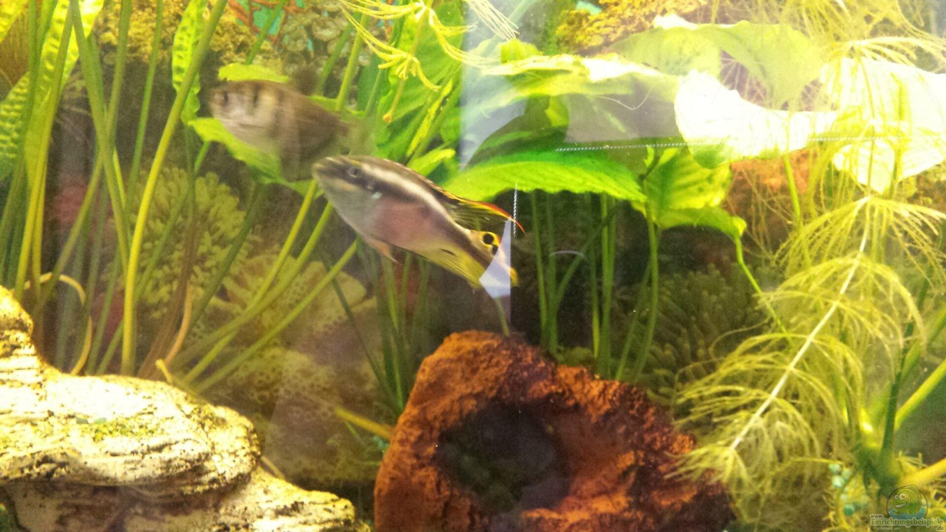 Aquarium von mamo2000 30349 barsch fadenfisch for Zierfische barsch