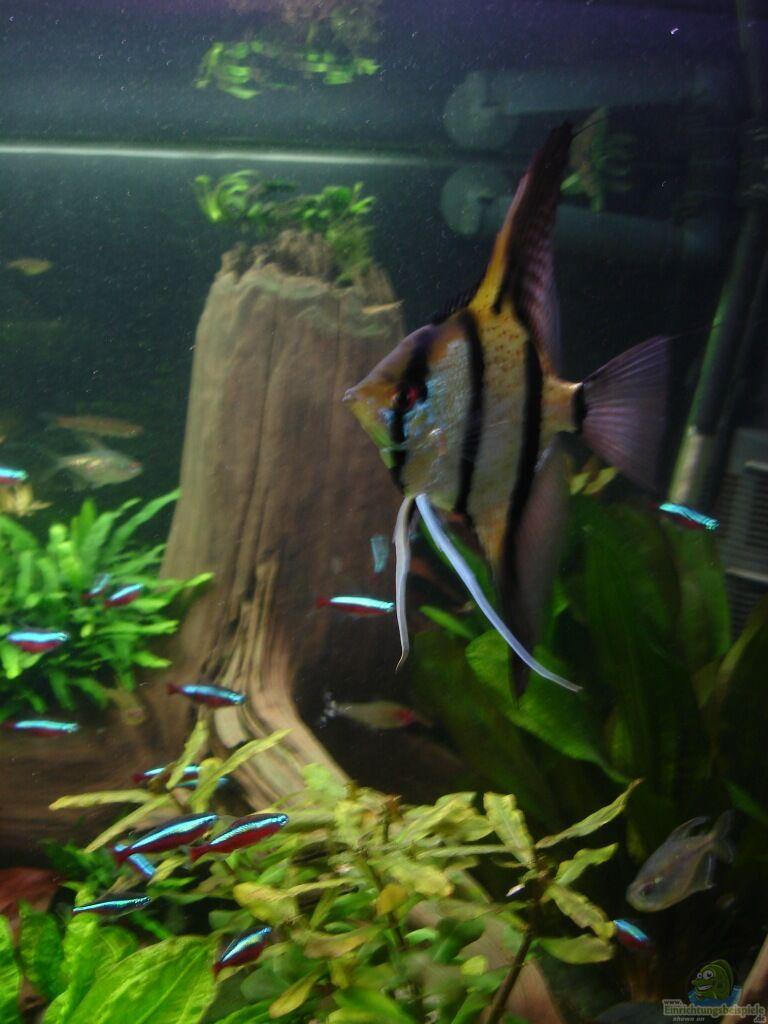 Aquarium von gr nhexe becken 30620 innerer frieden for Peru altum skalar