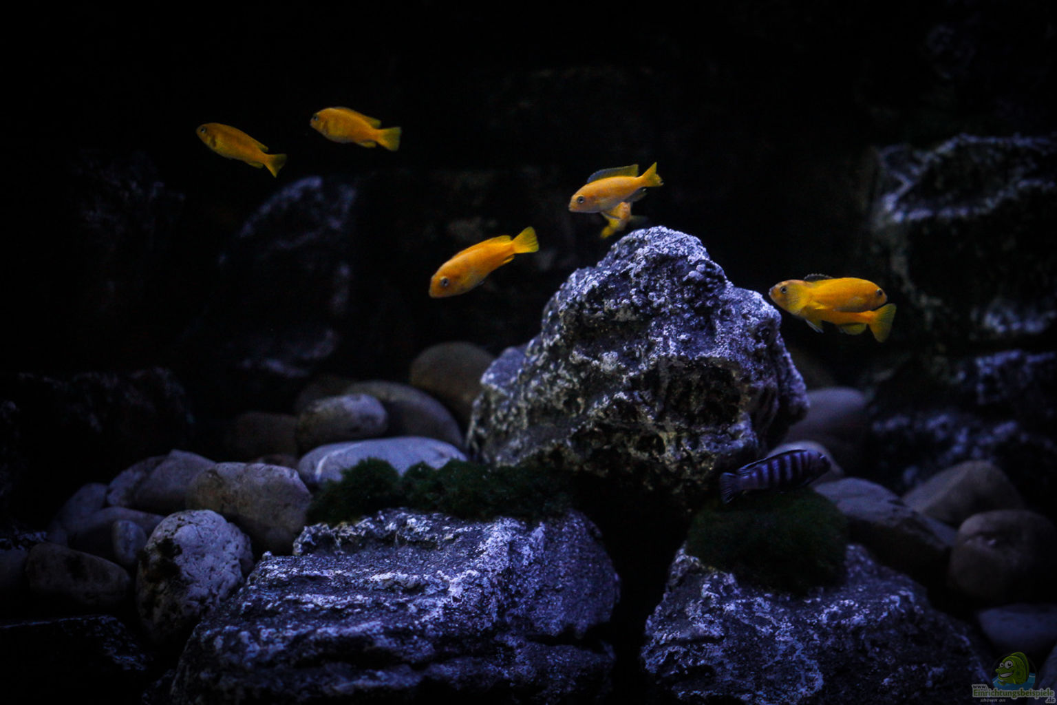 Example no 30626 from the category lake malawi for Aquarium corner decoration