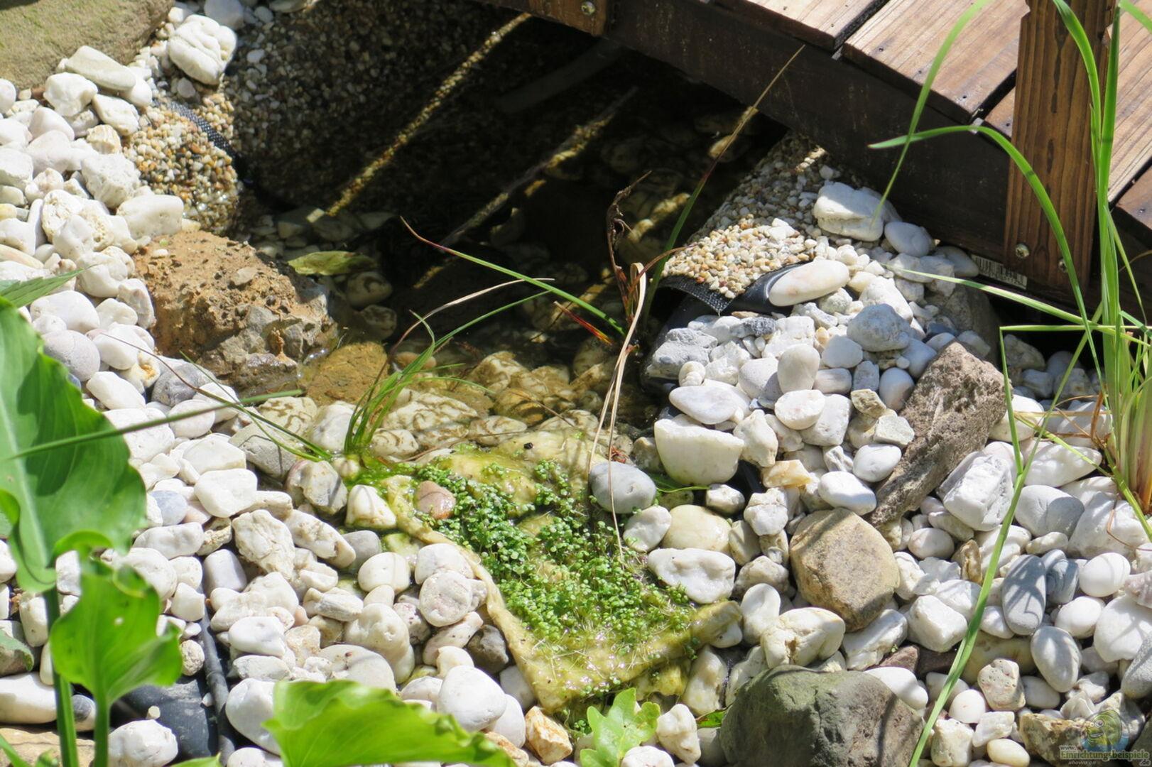 Brunenkresse und wollgras im bachlauf aus gartenteich al for Grunalgen im gartenteich