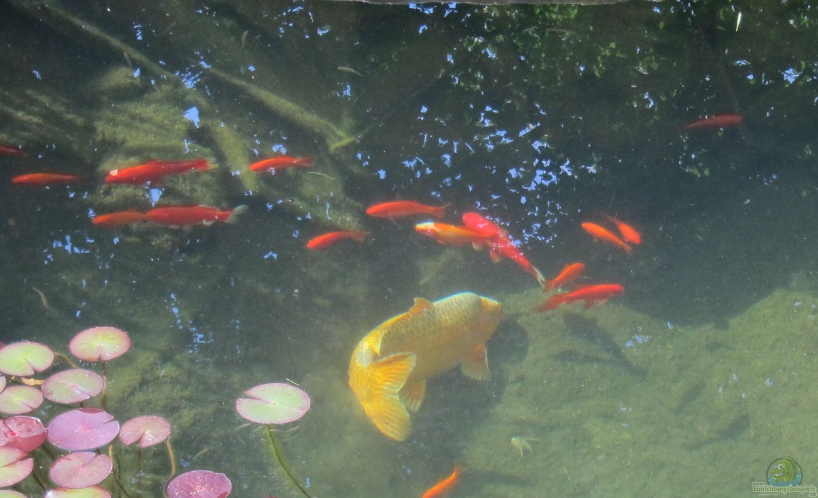 Teich von lily gartenteich for Kois und goldfische in einem teich