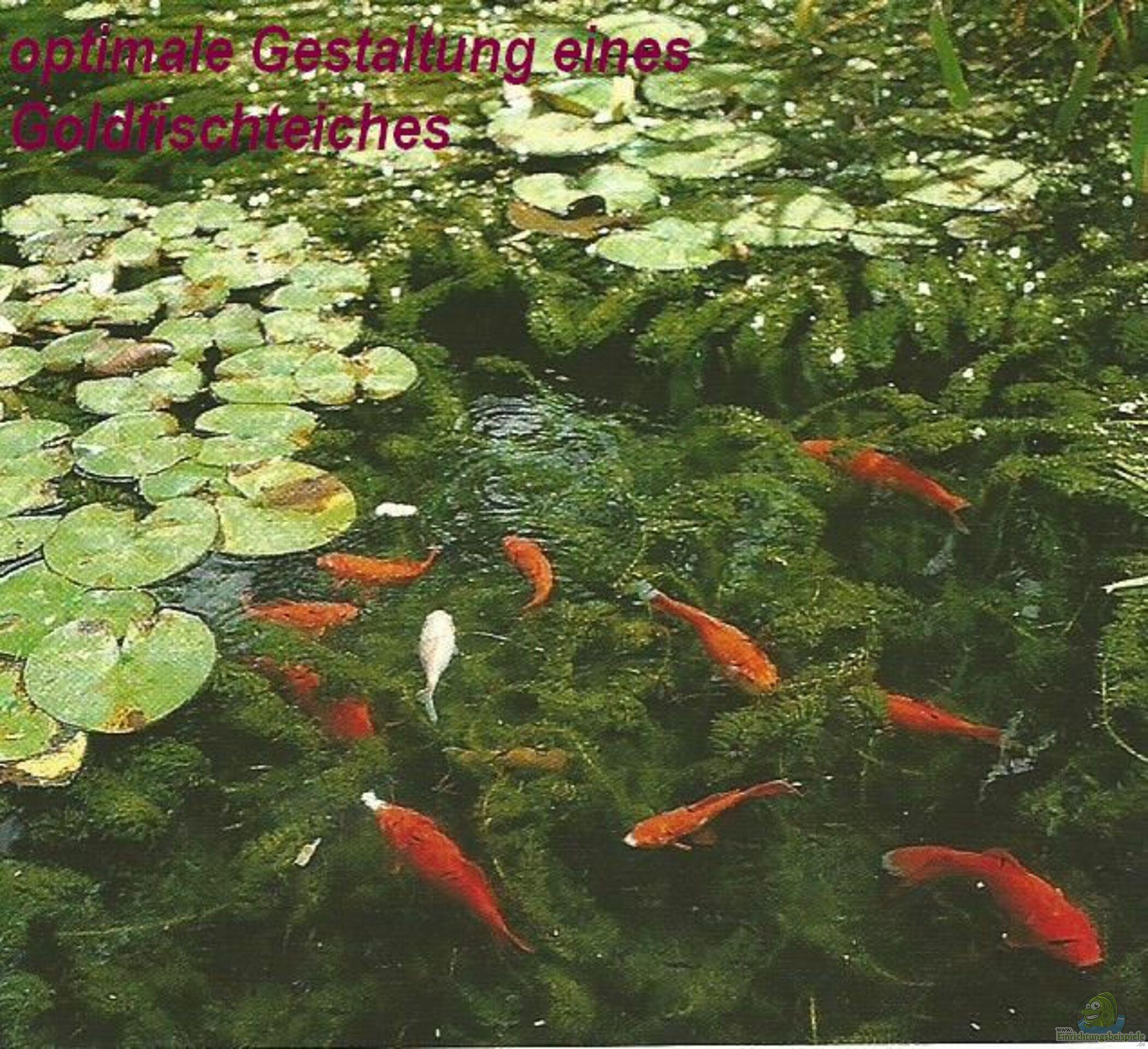 Goldfische auf ein offenes wort artikel 5049 for Goldfische winter teich