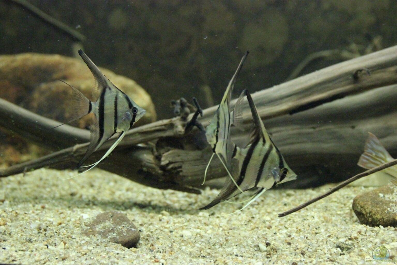 Aquarium von thomas s h s damerikabiotop aufgel st for Peru altum skalar
