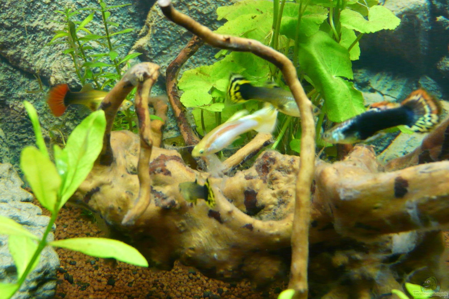Example no 30874 from the category community tanks for Aquarium wurzel