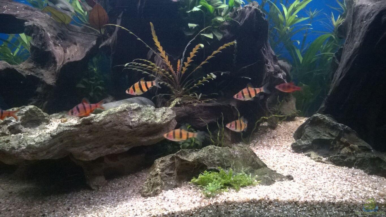 Aquarium von schuemic rio400 sl scapinglight for Fadenfische zucht