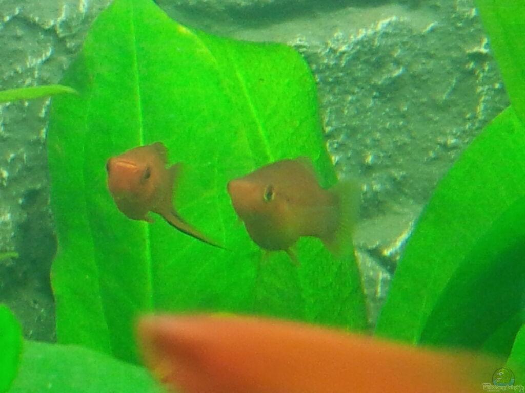 Aquarien mit schwerttr gern xiphophorus hellerii for Aquarium zierfische