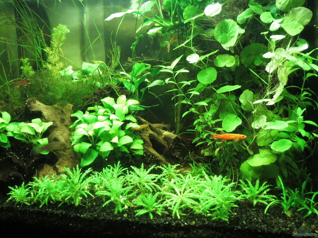 Aquarien mit killifischen zahnk rpflinge for Zierfische aquarium