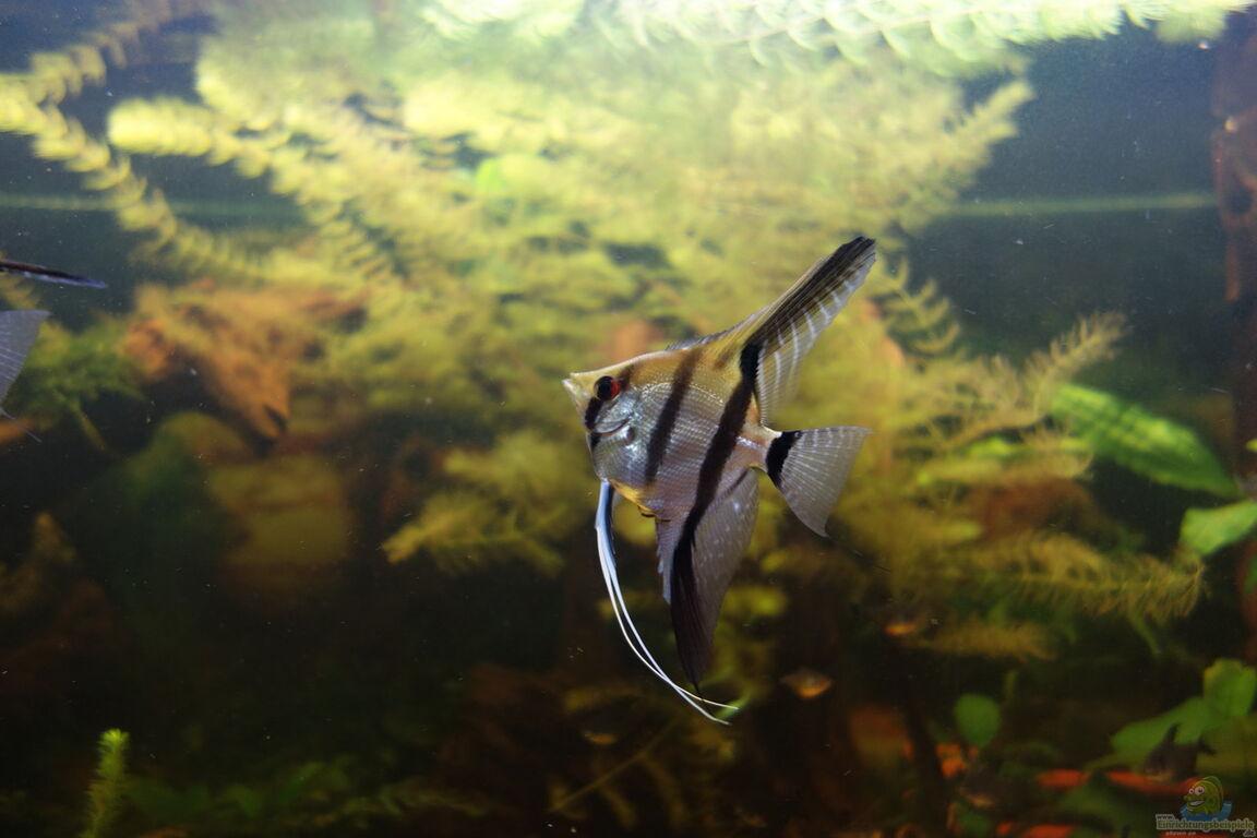 Aquarium von ba bu das gro e for Schwarzer skalar