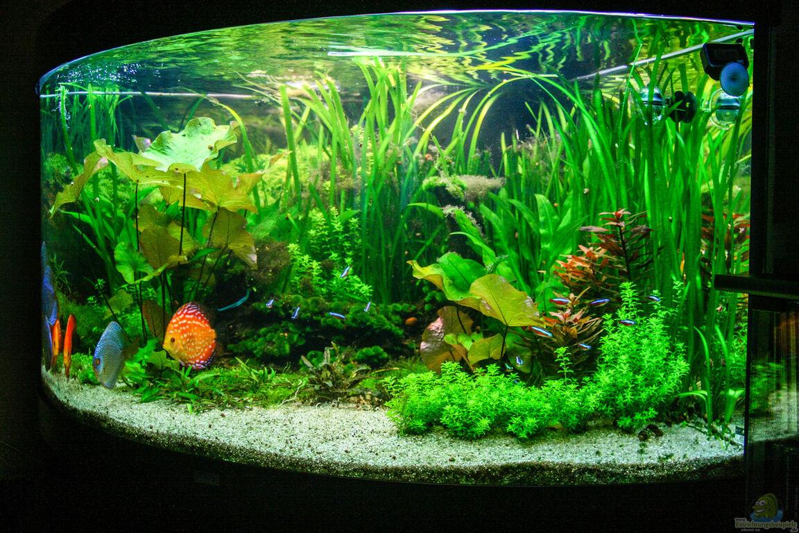 Aquarium von phil cave diskus amazonas for Diskus aquarium