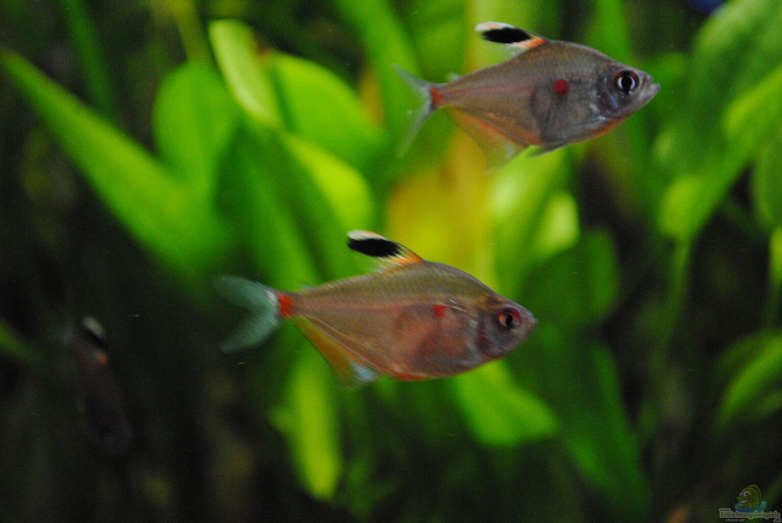 Aquarium von amazonas33 amazonas for Skalar futter