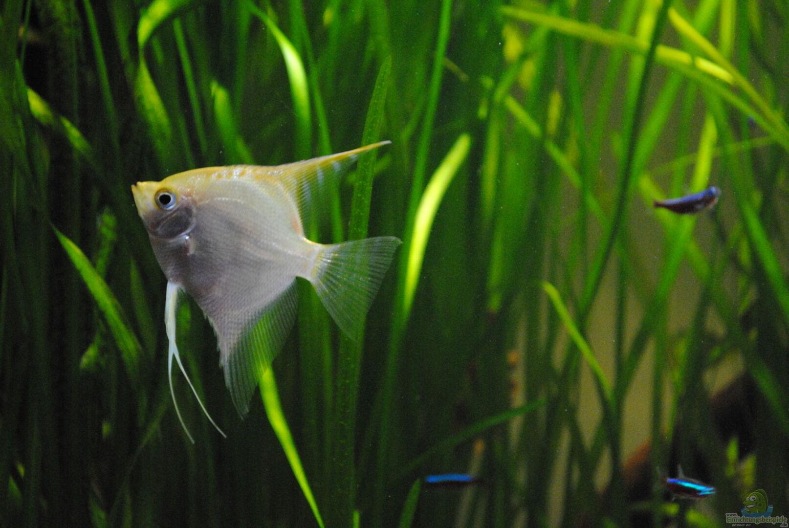 Aquarium von amazonas33 32090 amazonas for Skalar futter
