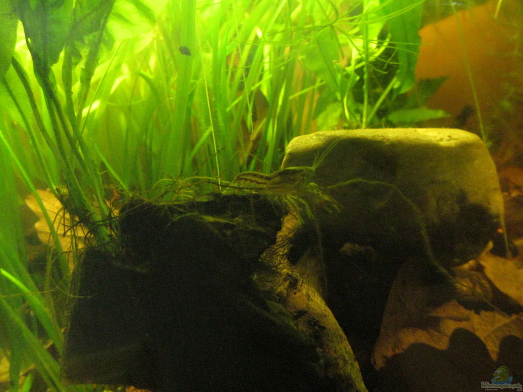 aquarien mit cambarellus texanus texas zwergflusskrebs. Black Bedroom Furniture Sets. Home Design Ideas
