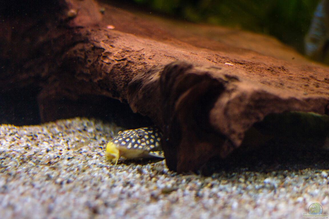 Aquarien mit welsen aquarium einrichtungsbeispiele for Zierfische welse