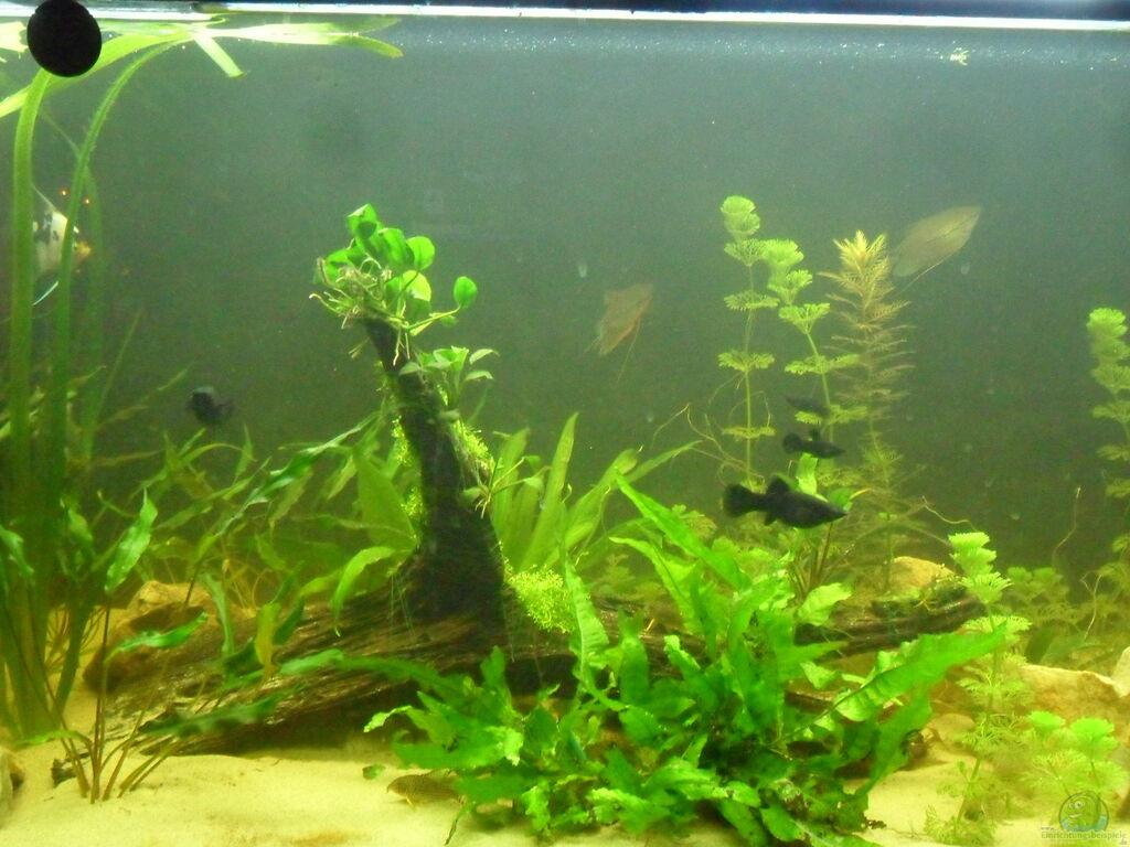 aquarien mit riccia fluitans teichlebermoos. Black Bedroom Furniture Sets. Home Design Ideas