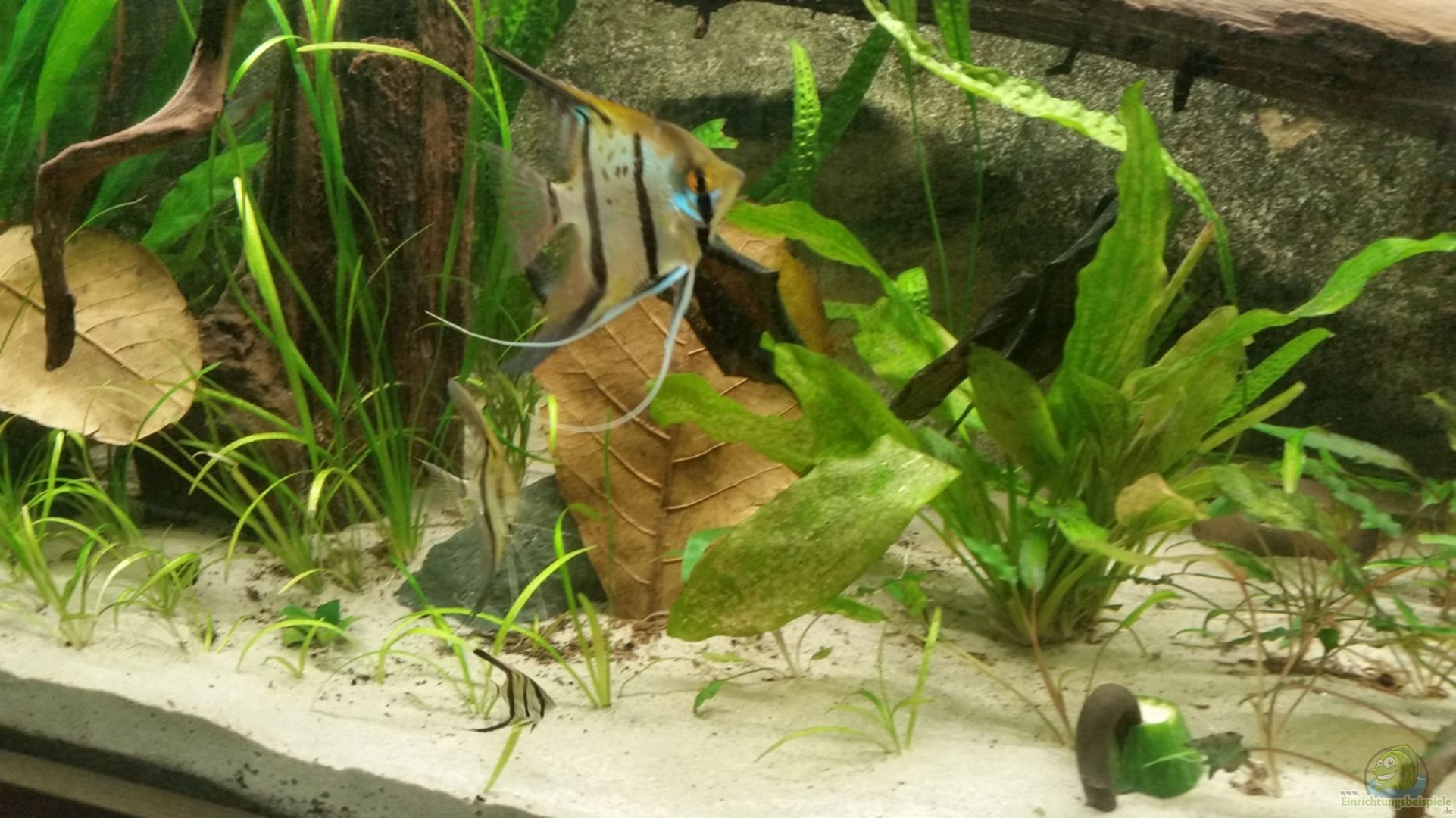Aquarium von patrick s amazonas becken 32469 for Peru altum skalar