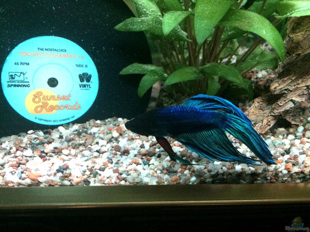 Aquarien mit kampffischen betta for Kampffische arten