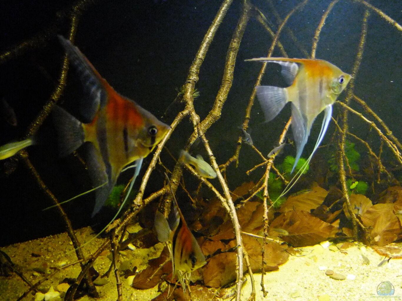 Aquarium von sven nering dunkles amazonasdikicht for Schwarzer skalar