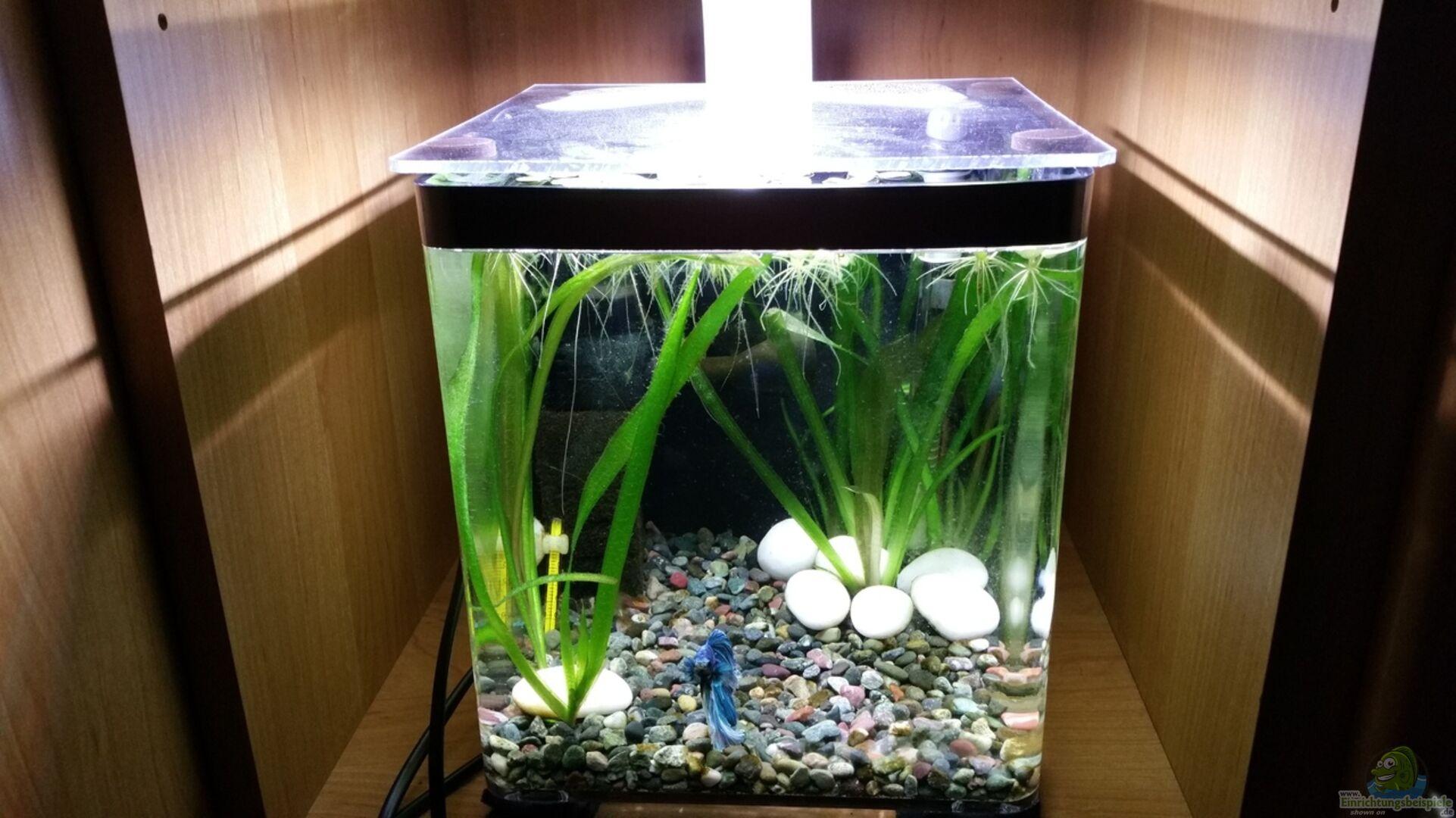 Aquarium Hauptansicht Von Kampffisch Nanobecken Aus Kampffisch