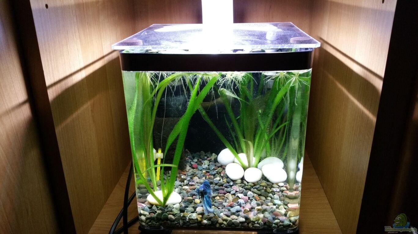 Aquarium von nadja9500 kampffisch nanobecken for Kampffisch shop