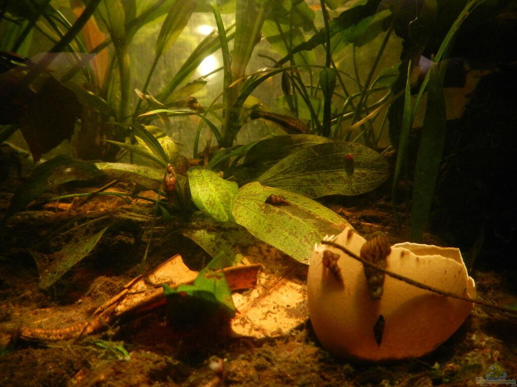 aquarium von miv honiggurami i aufgel st. Black Bedroom Furniture Sets. Home Design Ideas