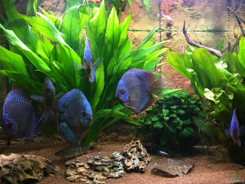 Aquarium von philipp fichte diskus panda und co for Diskus aquarium