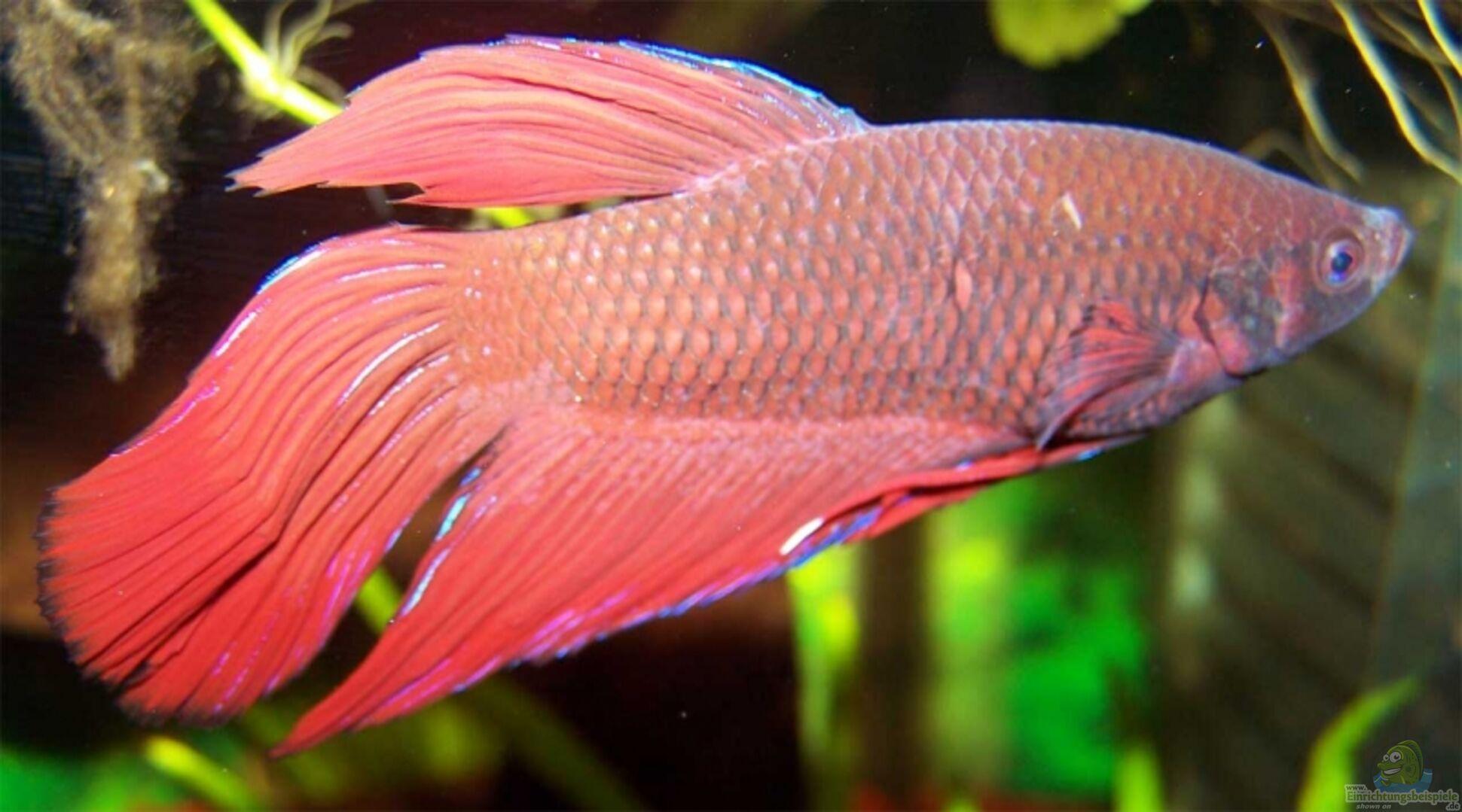 Aquarium von daniel br ker becken 3305 for Kampffisch futter