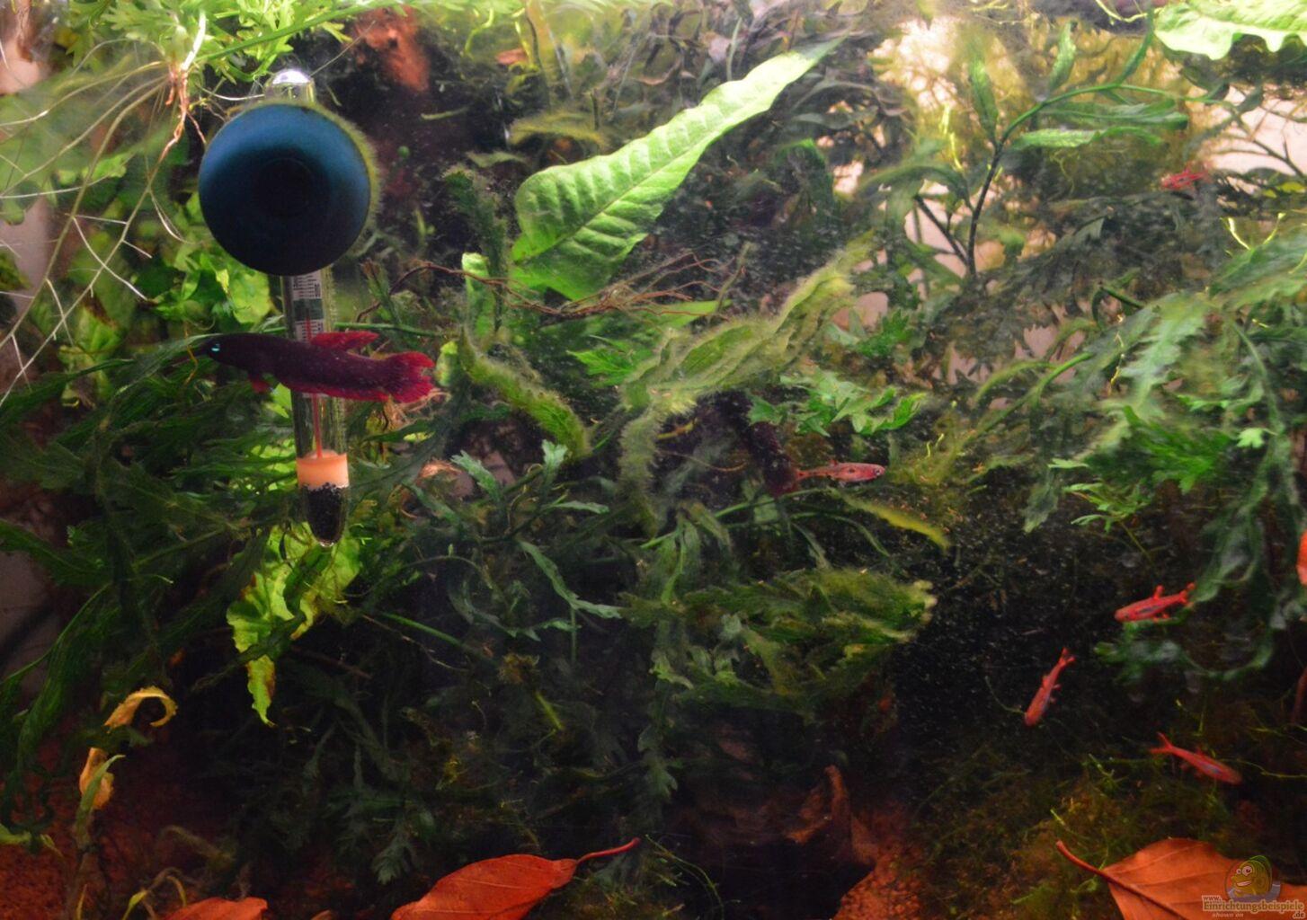 Besatz im aquarium enter the jungle nur noch als beispiel for Robuste zierfische