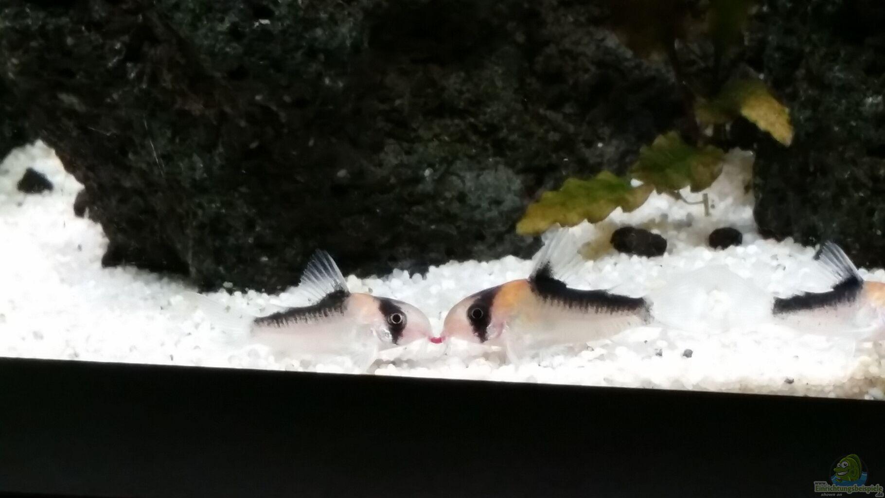 besatz im aquarium kleine fische aus kleine fische von panzerwelsfan. Black Bedroom Furniture Sets. Home Design Ideas