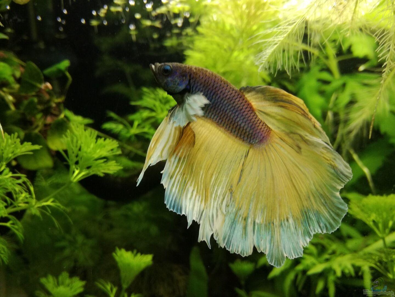 Aquarium von heike fuchs becken 34165 for Kampffisch futter