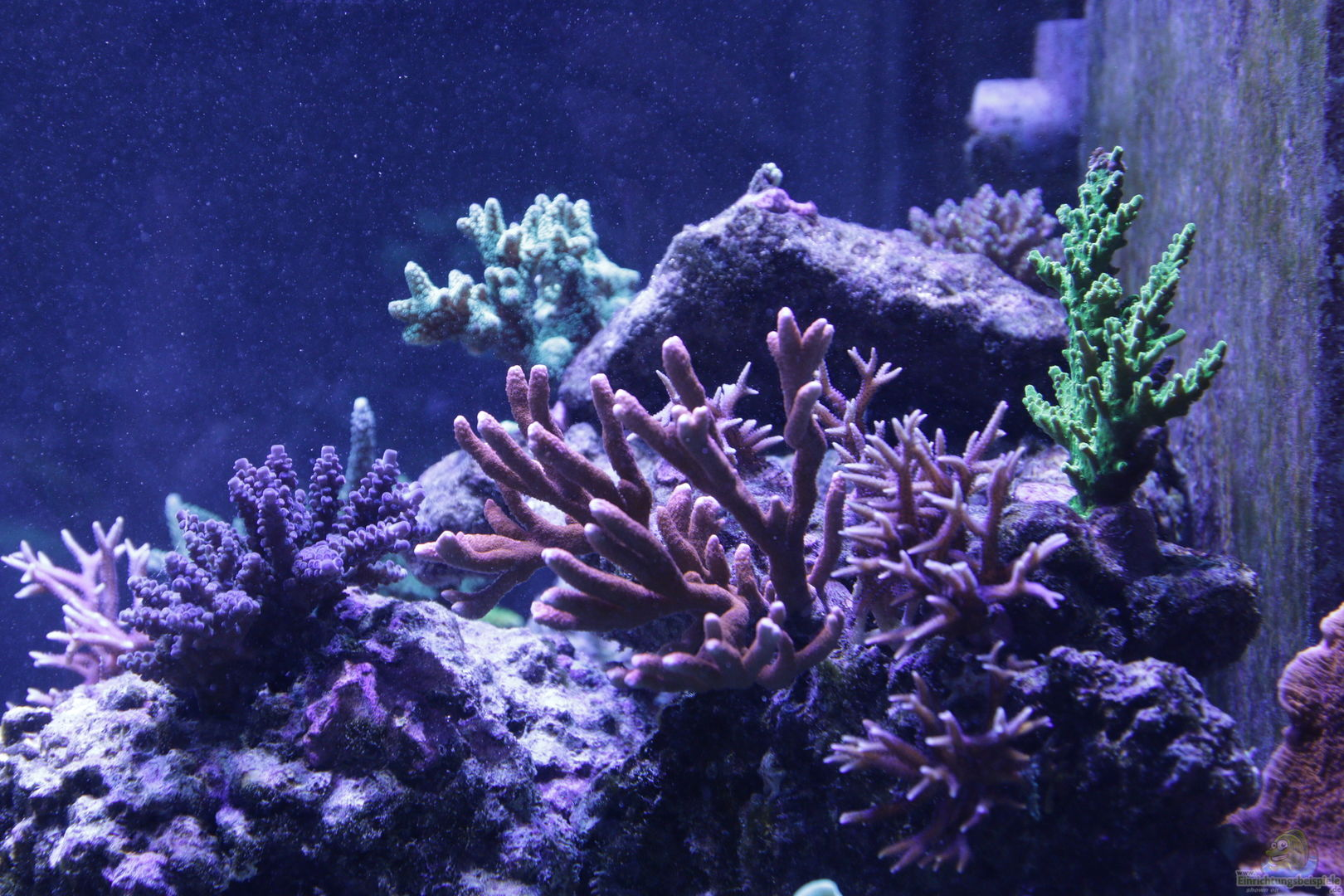 pflanzen im aquarium meerwasseraquarium aus. Black Bedroom Furniture Sets. Home Design Ideas
