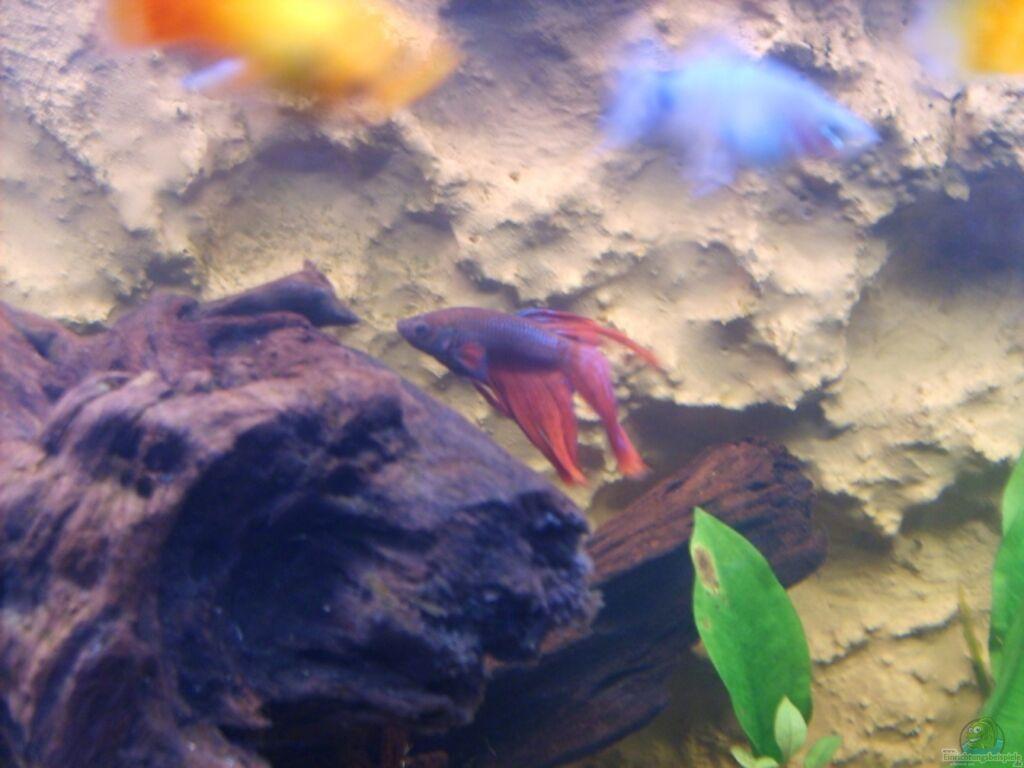 Aquarium von adrian vissers becken 3988 for Kampffisch becken