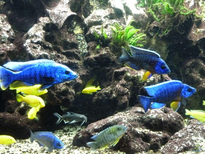 Aquarium von aquaman becken 5401 for Malawi buntbarsch