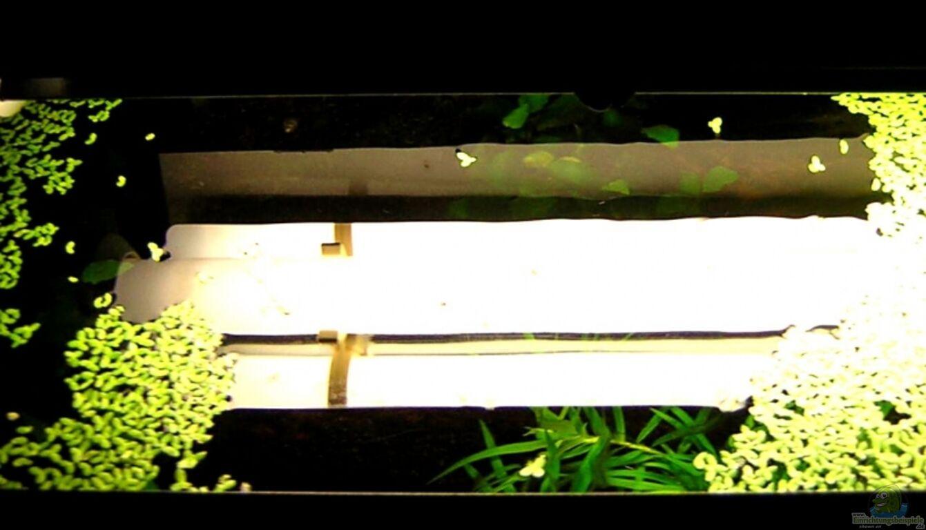Aquarien mit Lemna minor (Kleine Wasserlinse)