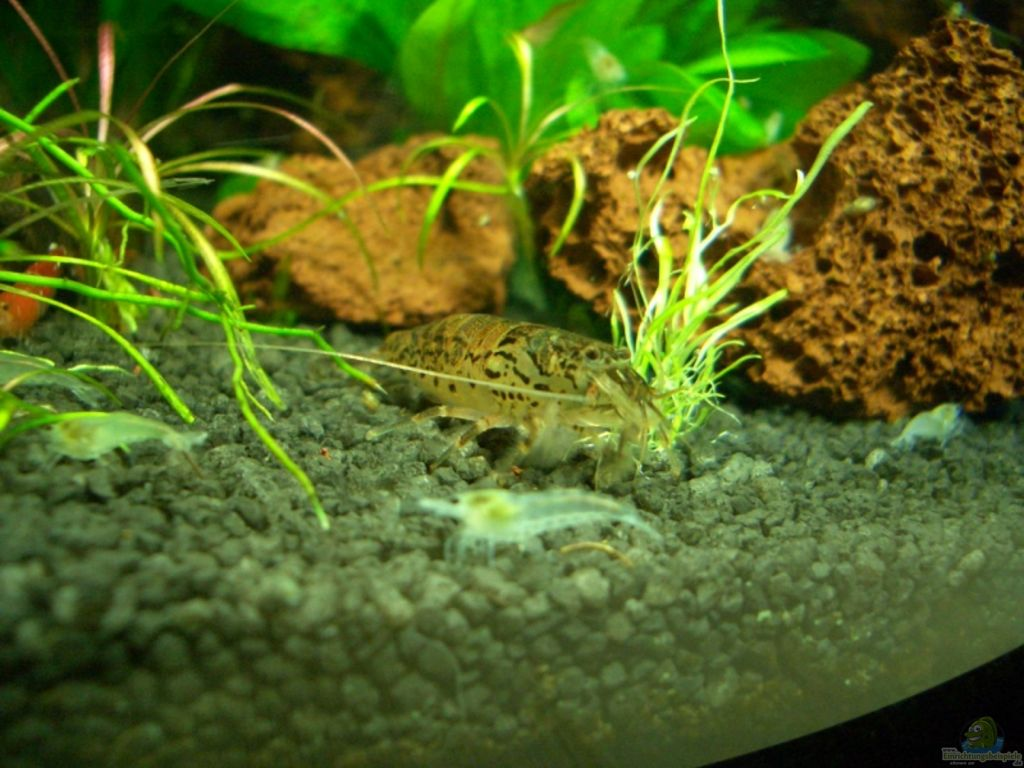 aquarien mit atyoida pilipes zwergf chergarnele. Black Bedroom Furniture Sets. Home Design Ideas