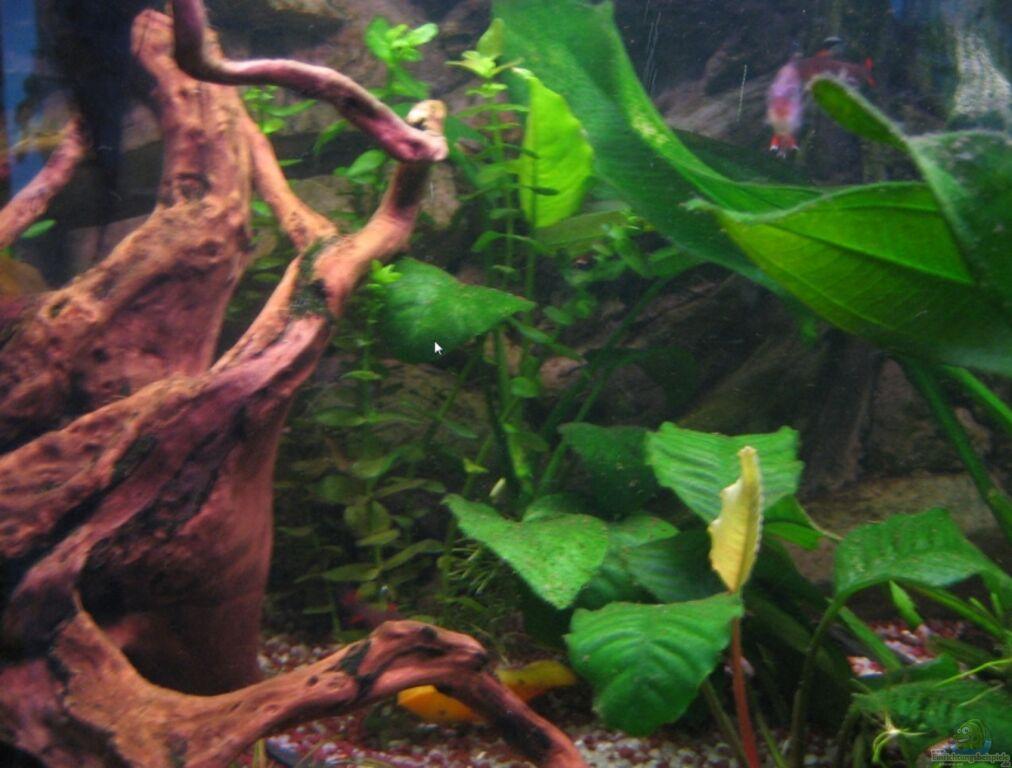 aquarien mit bacopa carolineana. Black Bedroom Furniture Sets. Home Design Ideas