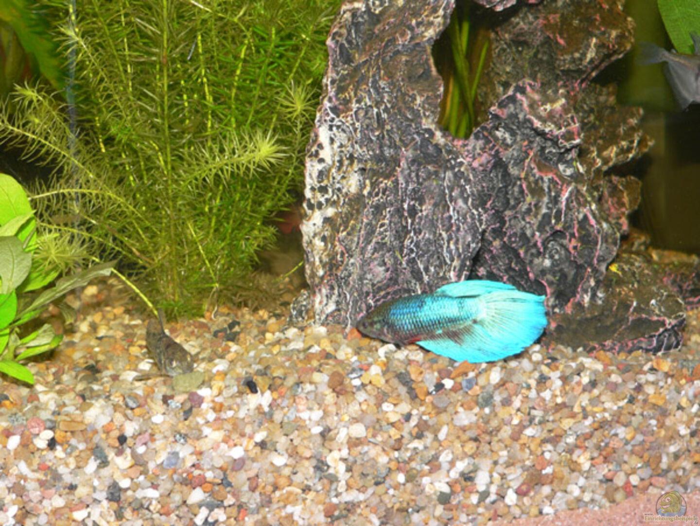 Aquarium von torsten kalmus becken 6647 for Kampffisch futter
