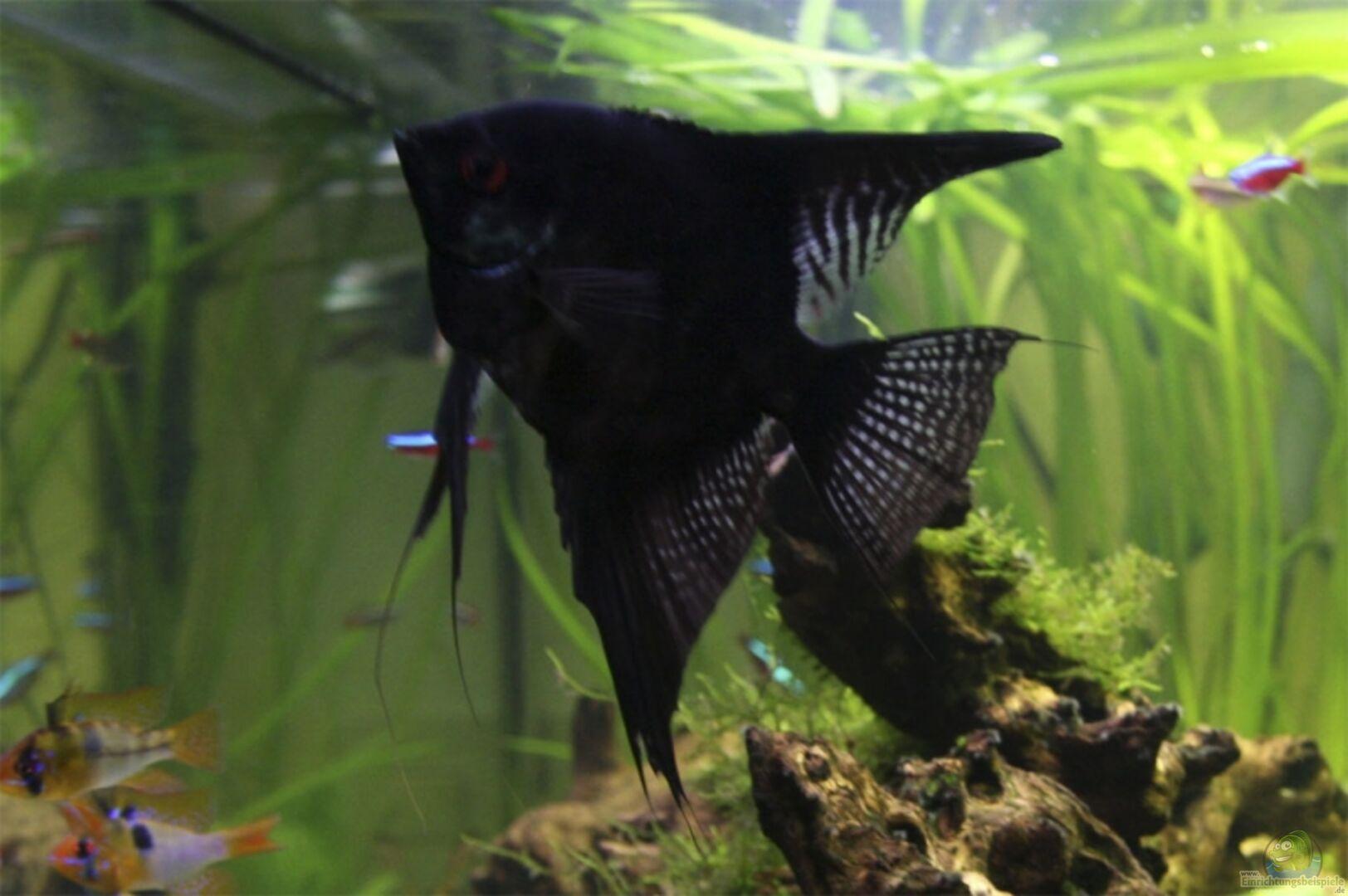 Aquarium von daniel knaeple becken 6869 for Schwarzer skalar