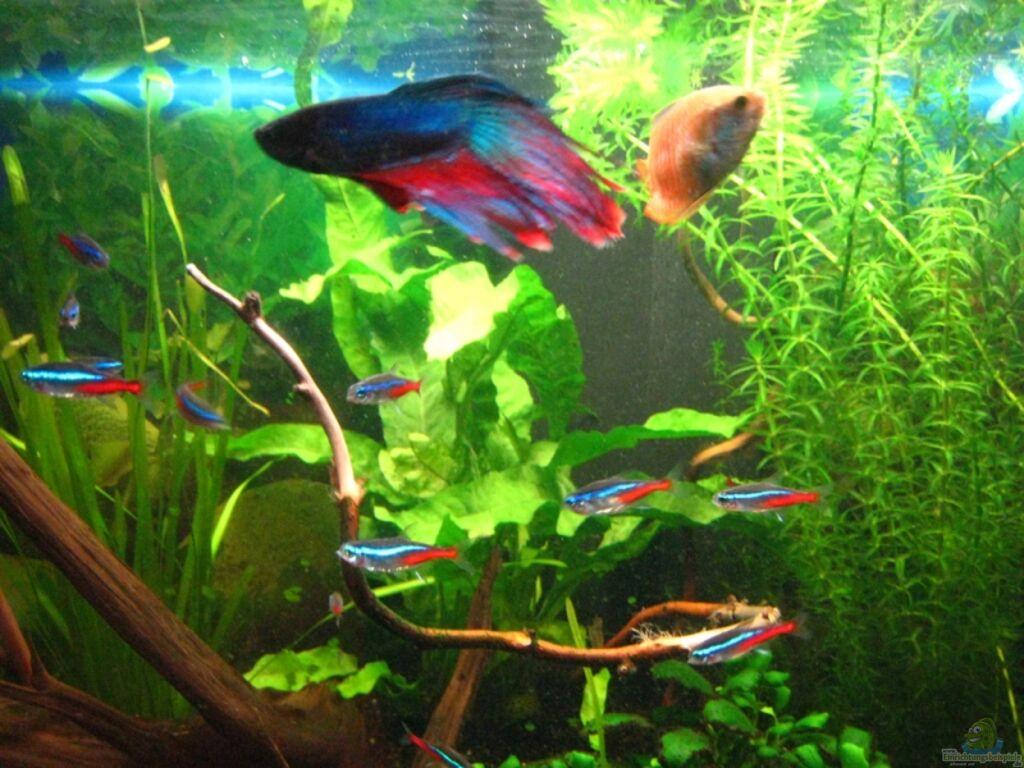 Aquarium von rene p becken 6896 for Kampffisch becken