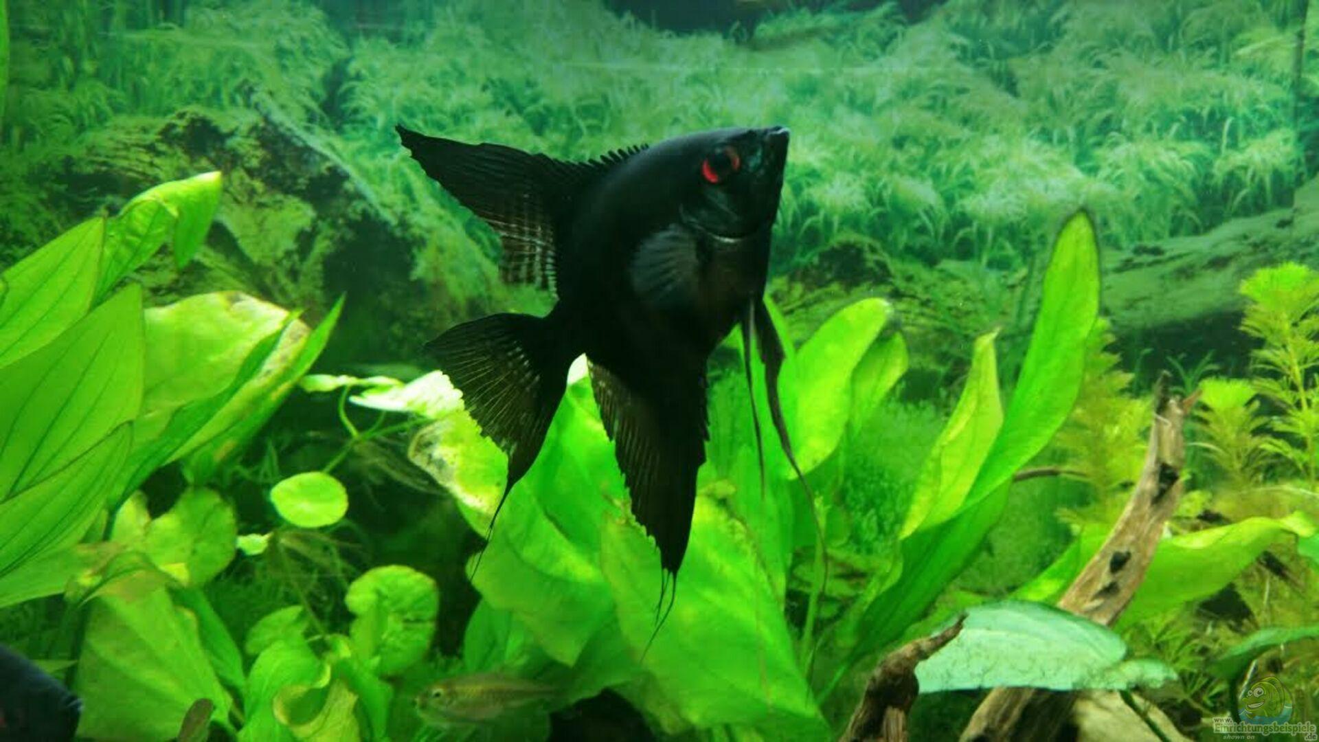 Aquarium von bea becken 7122 einrichtungsbeispiele for Schwarzer skalar