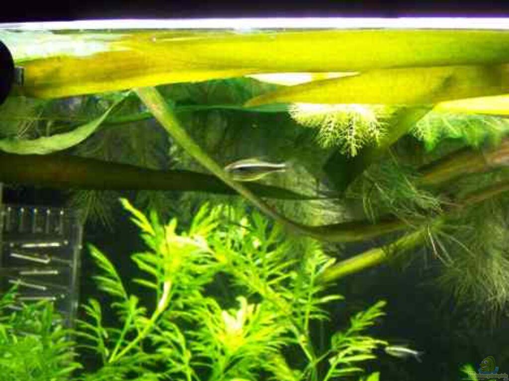Aquarium von firmi73 becken 7196 for Schwarzer skalar