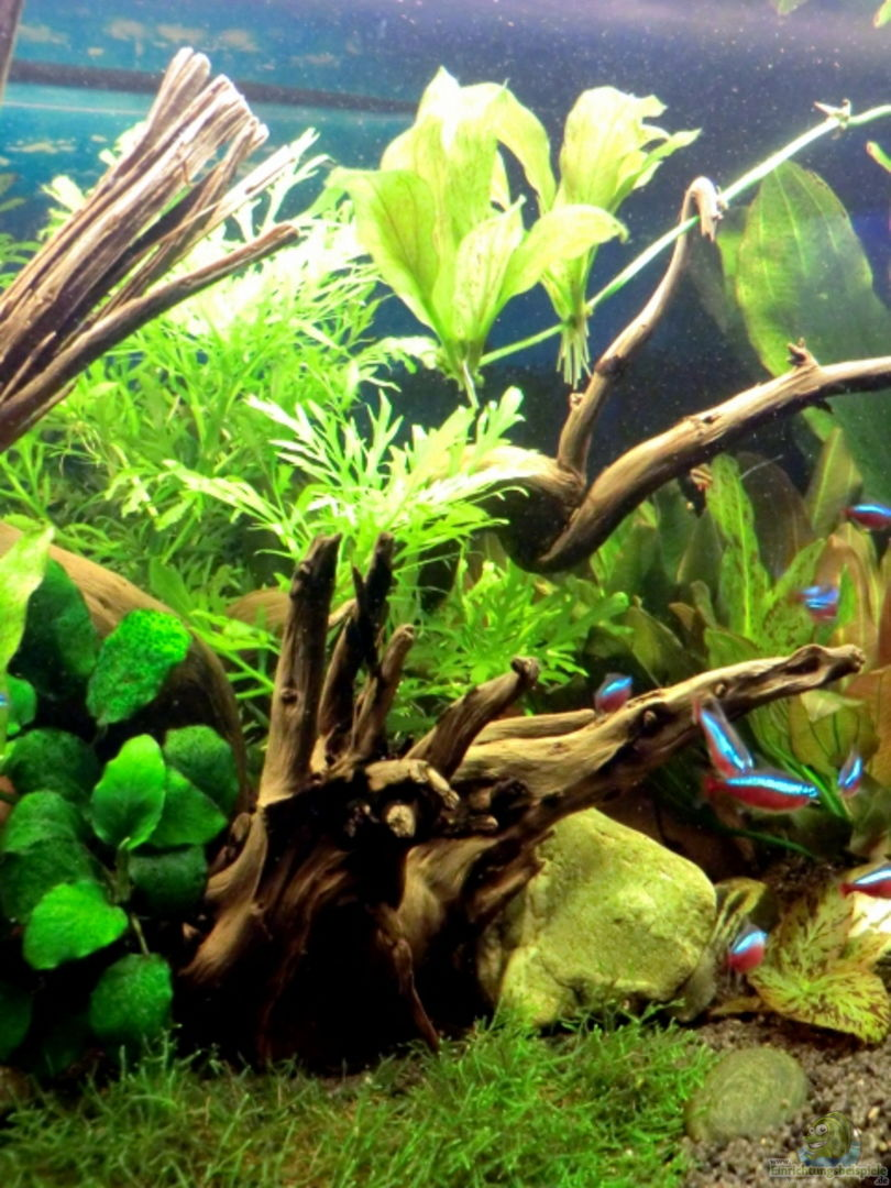 Aquarium leben an der wurzel aus leben an der wurzel for Aquarium wurzel