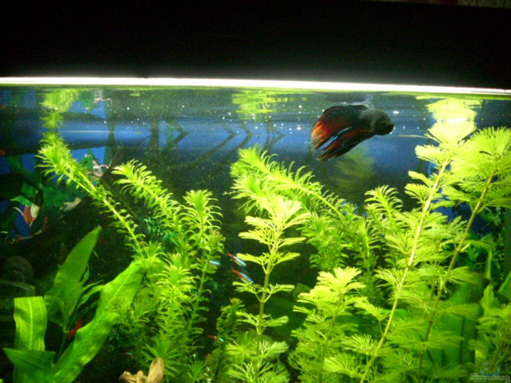 Aquarium von mario hey becken 7316 for Kampffisch futter