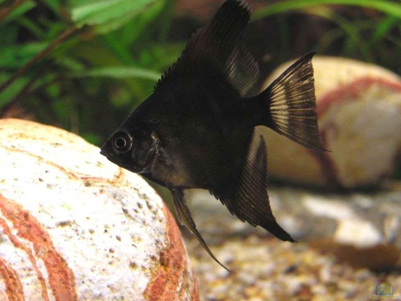 Aquarium von froxxs becken 7452 for Schwarzer skalar