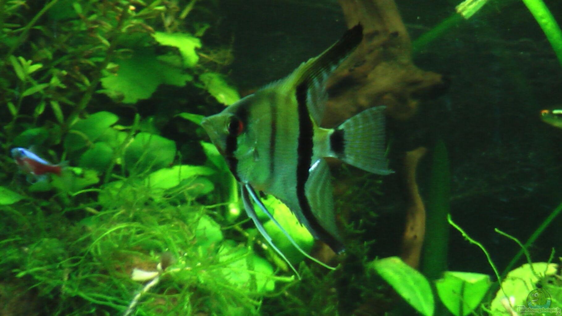 Aquarium von dennis gastel amazonas dschungel for Skalar futter