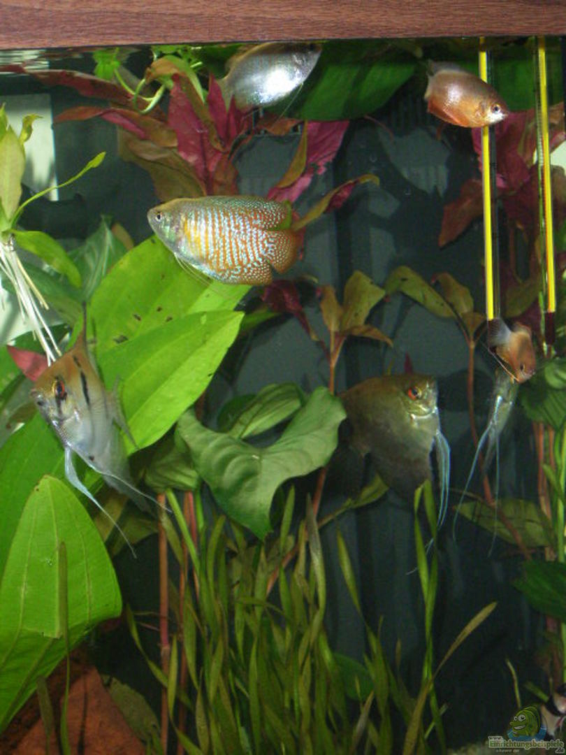 Aquarium von joernfie becken 7551 for Kampffisch becken