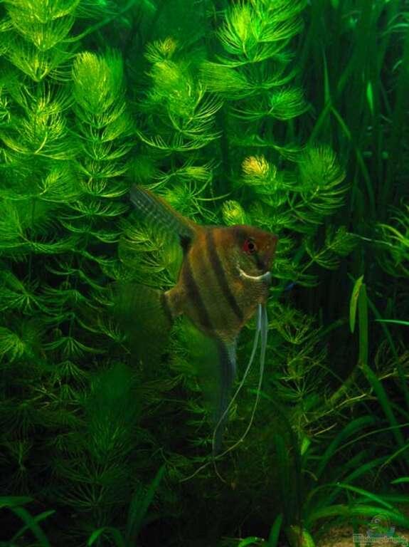 Aquarium von frances becken 7661 for Skalar futter
